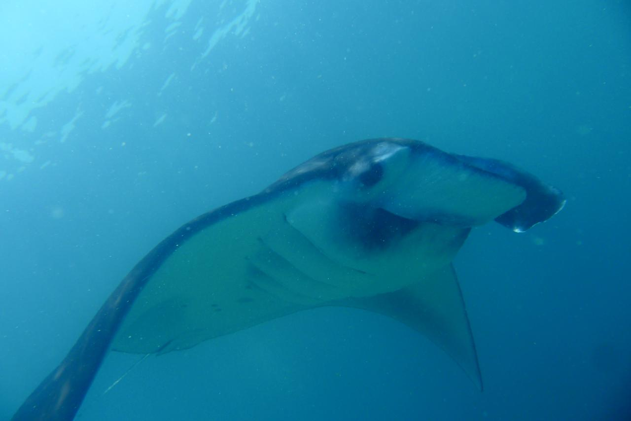 Manta rays are friendly creatures that feed on plankton and small fish. This photo was taken at a 'cleaning station' manta rays go to for regular cleaning by the cleaner wrasse. The cleaner wrasse removes small parasites from the skin and gill cavities of the ray. This picture was taken at Sangalaki, Indonesia.