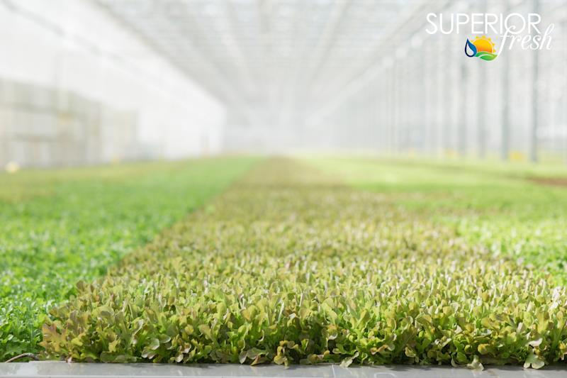 Superior Fresh in Wisconsincontains 123,000 square feet of production space and 850,000 gallons of aquaponics. (Superior Fresh)