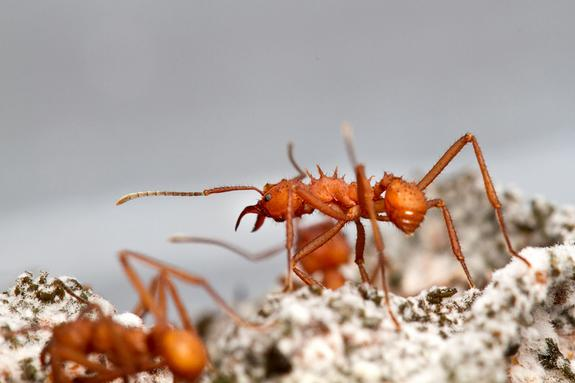 Ants Stay Clean by Squirting Antimicrobials from Their Butts