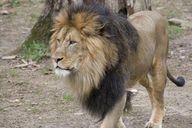 Luke is one of several lions who tested positive for the coronavirus at the National Zoo in Washington, D.C. (Photo: Smithsonian's National Zoo)