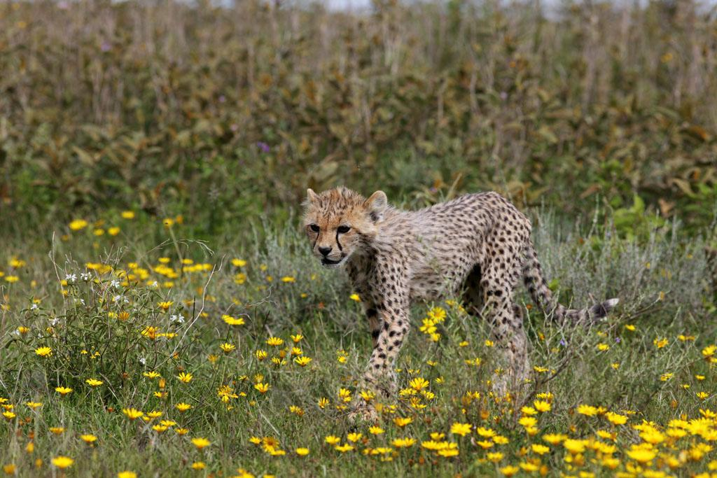 Serengeti/Massai Mara - This little cheetah is a few months old - he already survived the most dangerous weeks of his life.