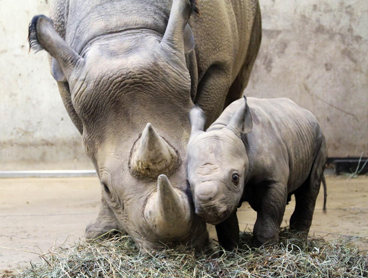 In this photo provided Jan. 25, 2011, by the Saint Louis Zoo, is a baby black rhinoceros calf with his mother, Kati Rain, at the Saint Louis Zoo in Saint Louis. The as yet unnamed male was born at the zoo on Jan. 14 and weighed 120.5 pounds. He is the first black rhino calf to be born at the Saint Louis Zoo in 20 years.