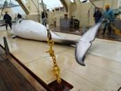 <p>Graphic Australian video of Japanese whaling released</p>