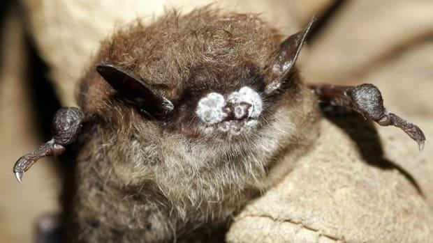 White-nose syndrome is fatal to most of the bats exposed to it.