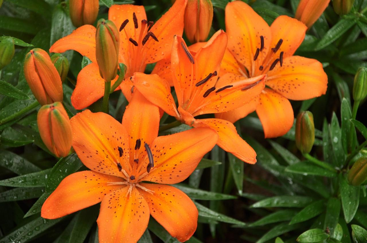 "<p>Asiatic lilies are the easiest to grow and most reliable for the average garden. Some have upward-facing flowers, while others have horizontally held or drooping flowers. Colors range from white through yellow and orange to pink and red and may have dark spots or contrasting ""halos."" Asiatics bloom in early summer. Examples are 'Enchantment', colored orange-red and spotted with black, the bright yellow 'Impala,' and 'Pink Floyd', a creamy pink bloom banded in rose pink.</p>"