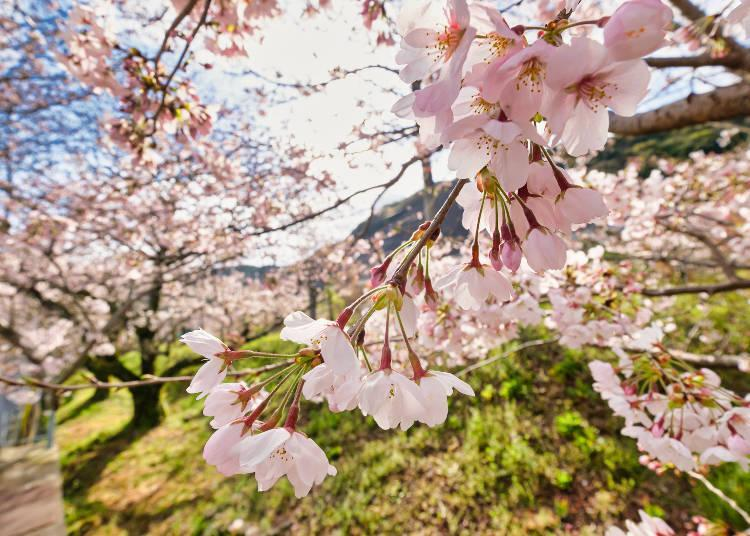 Many people visit every year to see the rows of cherry blossoms along the river