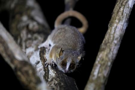 A grey mouse lemur is seen at the Kirindy forest near the city of Morondava