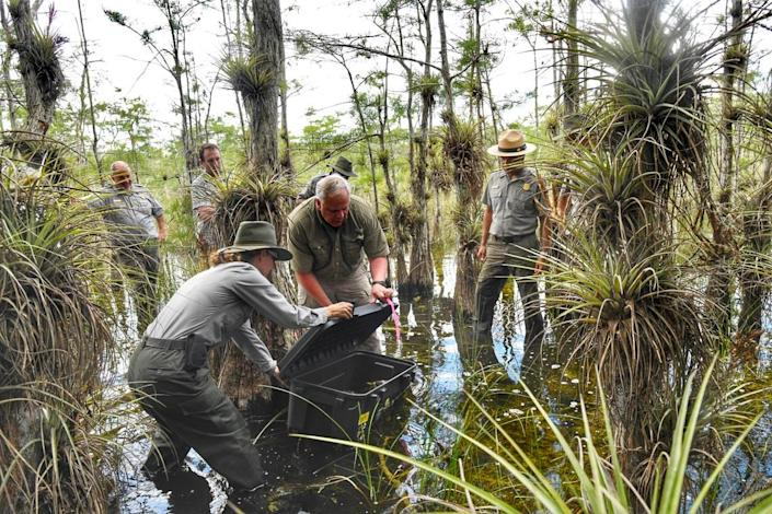 U.S. Dept. of Interior Secretary David Bernhardt in Big Cypress National Preserve in Southwest Florida helps release a male Burmese python with an implanted tracking device to lead biologists to other invasive pythons.