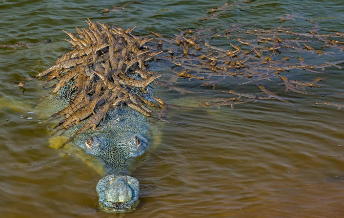 A father's pride: Hatchlings cling to a male gharial's back in India's National Chambal Sanctuary