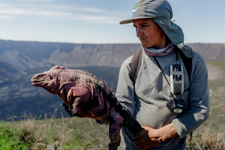 Handout photo released by the Galapagos National Park of a group of park ranger monitoring a Galapagos pink iguana at Wolf Volcano on Isabela Island (AFP/Freddy Jiménez)