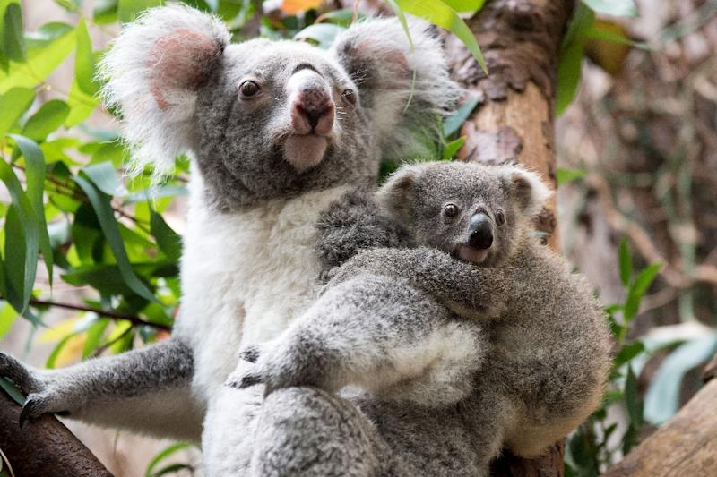 Koalas are effectively extinct in parts of Australia (AFP Photo/Marius Becker)