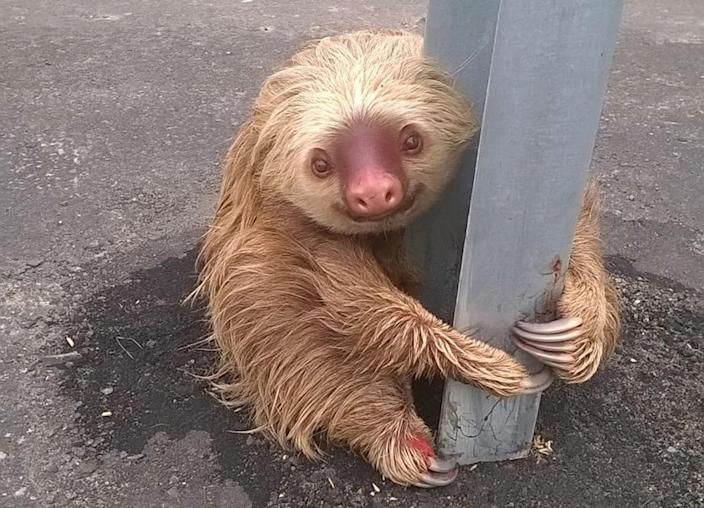 <p>A sloth holds on to the post of a traffic barrier on a highway, in this handout photo provided by Ecuador's Transit Commission, in Quevedo, Ecuador on January 22, 2016. (REUTERS/Ecuador's Transit Commission/Handout via Reuters) </p>