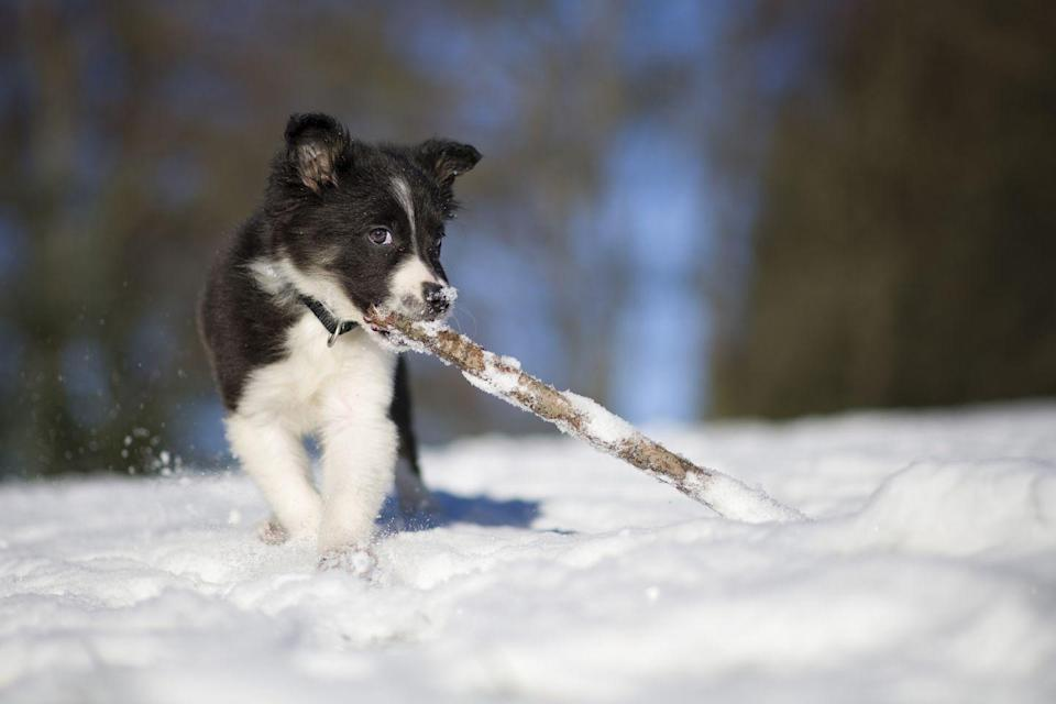 <p>A snow-covered world is a whole new world of play for a puppy. </p>