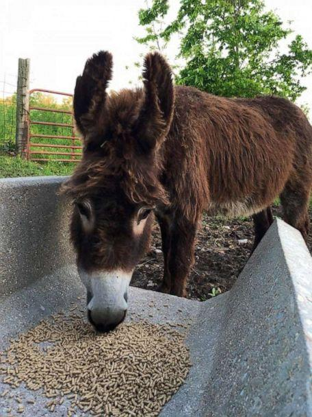 PHOTO: Violet, a miniature donkey eats on a farm in Green Forest, Arkansas. Violet is a miniature donkey who helps take care of blind animals. (Robbin Plumlee)
