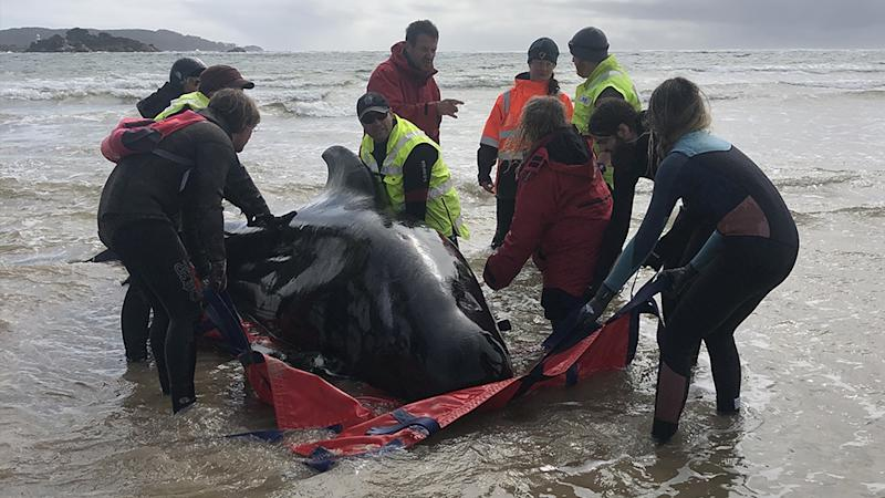A huge rescue mission to save some 270 pilot whales stranded off Tasmania's remote west coast is underway. Source: Tasmania Police