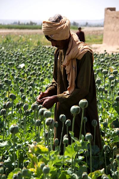 Afghanistan is the world's top grower of opium, and the crop accounts for hundreds of thousands of jobs (AFP Photo/NOOR MOHAMMAD)