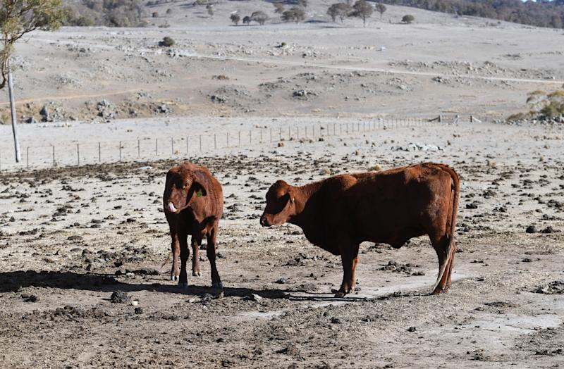 A photograph taken on August 26, 2019 shows cattle standing in a paddock on a drought-affected farm near Armidale in regional New South Wales.