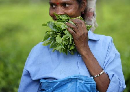 A tea garden worker holds a bunch of plucked tea leaves inside Aideobarie Tea Estate in Jorhat in Assam, India, April 21, 2015. REUTERS/Ahmad Masood