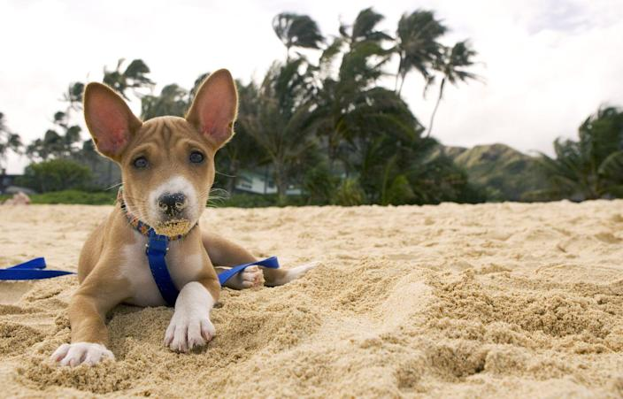 """<p>These tough-looking pups are all the rage among allergic owners, as their short and fine coat <a href=""""https://dogtime.com/dog-breeds/basenji"""" rel=""""nofollow noopener"""" target=""""_blank"""" data-ylk=""""slk:rarely sheds"""" class=""""link rapid-noclick-resp"""">rarely sheds</a>. (They're rated a 1/5 on the shed-scale by Dog Time.) Basenjis are touted as amazing adventure dogs too, thanks to their great sense of smell and sight, but they can also be stubborn, so you'll need to train them well.</p>"""
