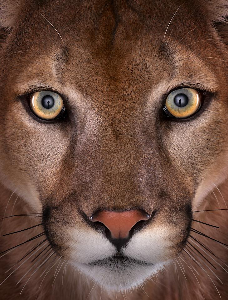 Wild eyes: Photographer Brad Wilson captures a beautiful image of a mountain lion as part of his 'Affinity' exhibiton on display in London this week (Brad Wilson/Doinel Gallery)