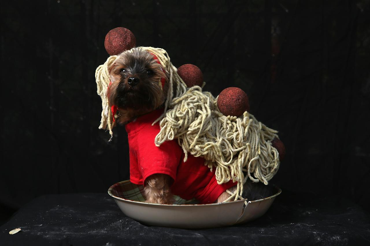 NEW YORK, NY - OCTOBER 20:  Yorkshire terrier Baxter poses as spaghetti and meatballs at the Tompkins Square Halloween Dog Parade on October 20, 2012 in New York City. Hundreds of dog owners festooned their pets for the annual event, the largest of its kind in the United States.  (Photo by John Moore/Getty Images)