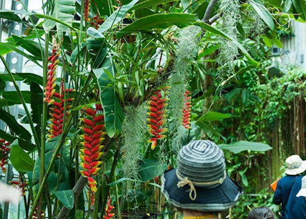 ▲This was the best time to see the Heliconia, which is popular for its unique shape and vivid colors.