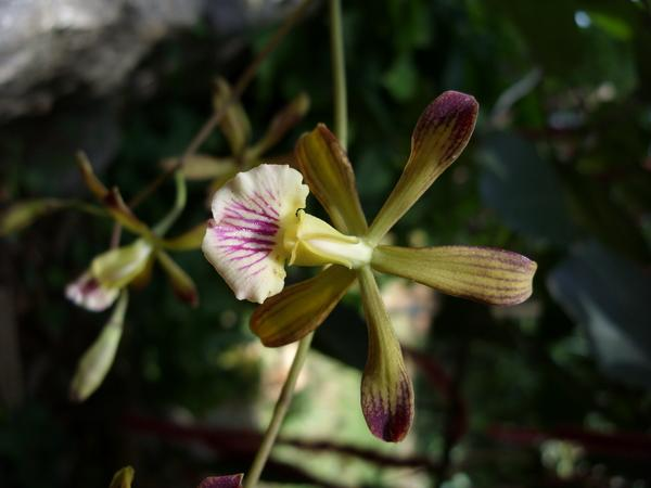 Encyclia navarroi, a new orchid species from Cuba.