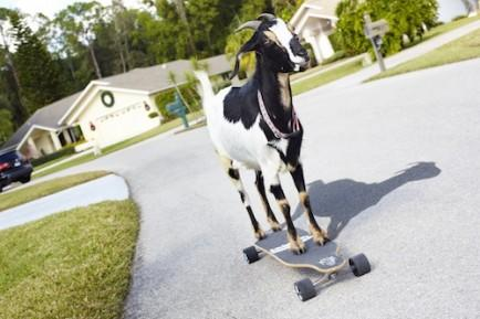 """<div class=""""caption-credit"""">Photo by: James Ellerker/Guinness World Records</div><div class=""""caption-title""""></div><b>Skateboarding Goat</b> <br> The <a rel=""""nofollow"""" href=""""http://www.guinnessworldrecords.com/news/2013/9/video-happie-the-skateboarding-goat-51325/"""" target=""""_blank"""">farthest distance skateboarded by a goat</a> was 36 m (118 ft) and was achieved by Happie (USA) of Fort Myers, Florida, on March 4, 2012. The distance was completed in a time of 25 seconds. <br> <i>Image: James Ellerker/Guinness World Records</i>"""