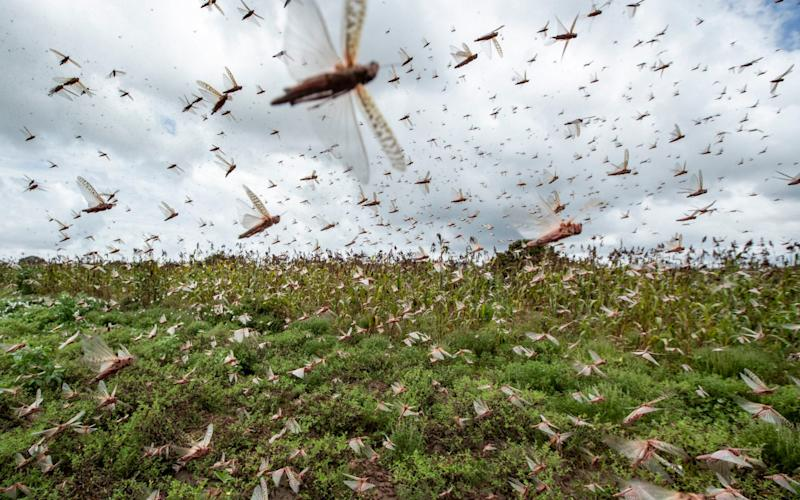 Swarms of desert locusts fly up into the air from crops in Katitika village, Kitui county, Kenya, earlier this month - AP