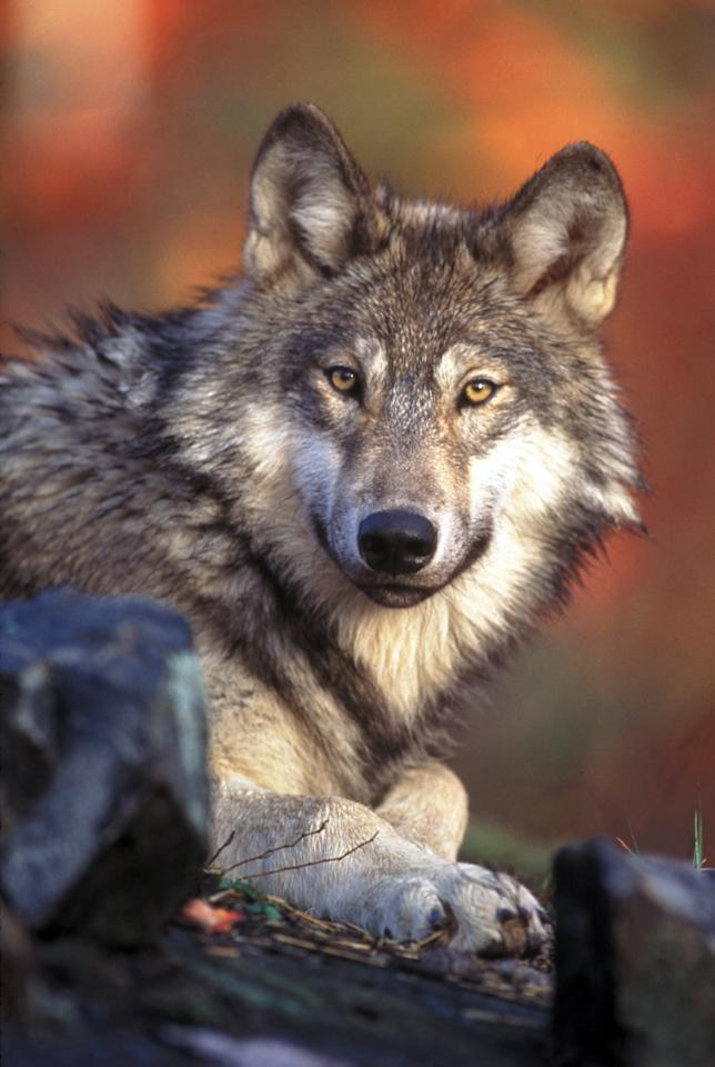 FILE - This undated photo provided by the U.S. Fish and Wildlife Service shows a gray wolf. The Obama administration proposed a new rule that would end a practice in which some endangeredspecies were classified differently in neighboring states. (AP Photo/U.S. Fish and Wildlife Service, File)