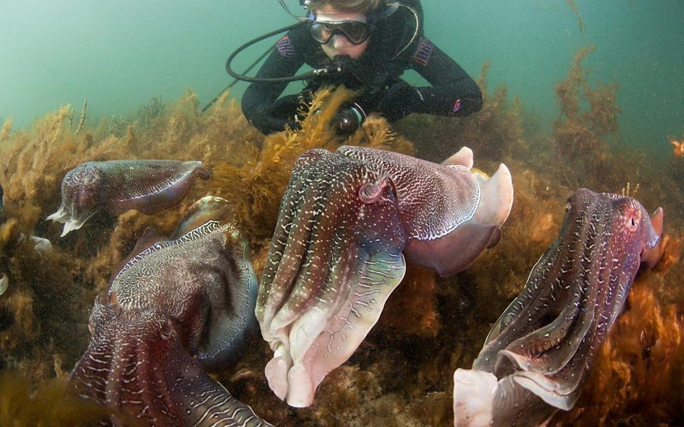 Diving with cuttlefish at Stony Point - Carl Charter