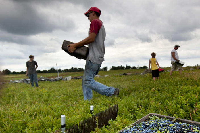 Workers harvest wild blueberries at the Ridgeberry Farm in Appleton, Maine.