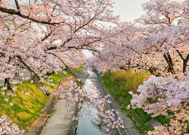 A stunning cherry blossom tunnel that stretches 2.5 kilometers north and south on both banks