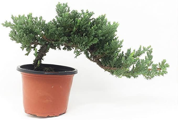 """<h2>BonsaiOutlet Windswept Bonsai Tree</h2><br><strong>The Hype:</strong> 4.3 out of 5 stars and 282 reviews<strong><br></strong><br><strong>Plant Parents Say:</strong> """"I have over 20 trained, nurtured Bonsais. I tend to favor smaller, delicate, intricately trained looking trees. This one is near perfect for a new purchase. Fresh, new growth, nice color, and healthy.""""<br><br><em>Shop</em> <strong><em><a href=""""https://amzn.to/3aOnNiD"""" rel=""""nofollow noopener"""" target=""""_blank"""" data-ylk=""""slk:BonsaiOutlet"""" class=""""link rapid-noclick-resp"""">BonsaiOutlet</a></em></strong><br><br><strong>BonsaiOutlet</strong> Windswept Bonsai Tree, $, available at <a href=""""https://amzn.to/37UDhzJ"""" rel=""""nofollow noopener"""" target=""""_blank"""" data-ylk=""""slk:Amazon"""" class=""""link rapid-noclick-resp"""">Amazon</a>"""