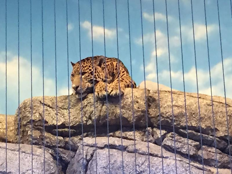 Chicago's Lincoln Park Zoo attracts visitors to see animals like the jaguar.
