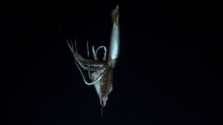 Screen grab from footage captured by NHK and Discovery Channel in July 2012 shows a giant squid holding a bait squid in its arms in the sea near Chichi island. The silver-coloured creature, which had huge black eyes, was filmed holding a bait squid in its arms