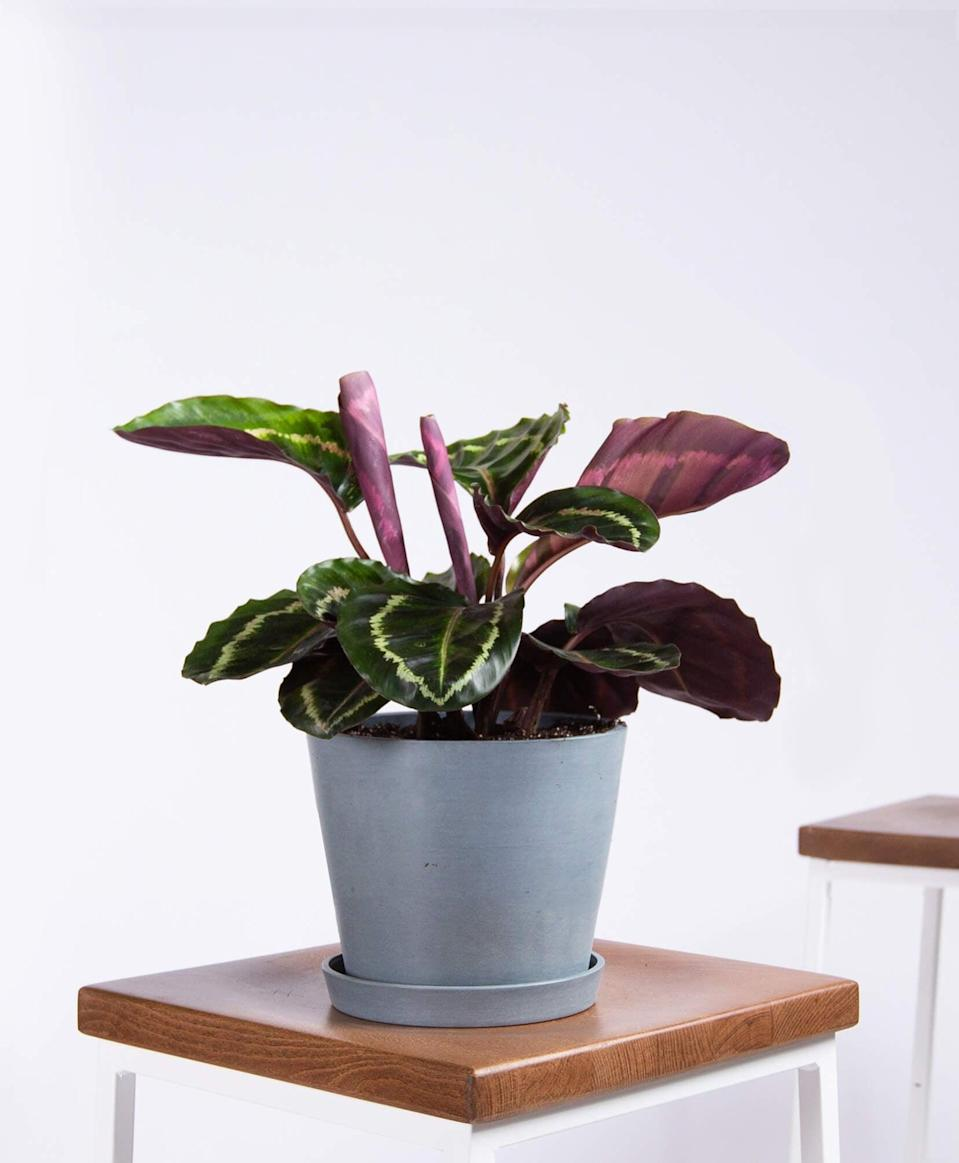 "<p>We like the unique look of this <a href=""https://www.popsugar.com/buy/Potted-Calathea-Medallion-Indoor-Plant-480765?p_name=Potted%20Calathea%20Medallion%20Indoor%20Plant&retailer=bloomscape.com&pid=480765&price=65&evar1=casa%3Aus&evar9=47423087&evar98=https%3A%2F%2Fwww.popsugar.com%2Fphoto-gallery%2F47423087%2Fimage%2F47423337%2FPotted-Calathea-Medallion-Indoor-Plant&list1=shopping%2Chouse%20plants%2Cplants%2Chome%20decorating%2Cdecor%20shopping%2Cbloomscape&prop13=api&pdata=1"" class=""link rapid-noclick-resp"" rel=""nofollow noopener"" target=""_blank"" data-ylk=""slk:Potted Calathea Medallion Indoor Plant"">Potted Calathea Medallion Indoor Plant </a> ($65).</p>"