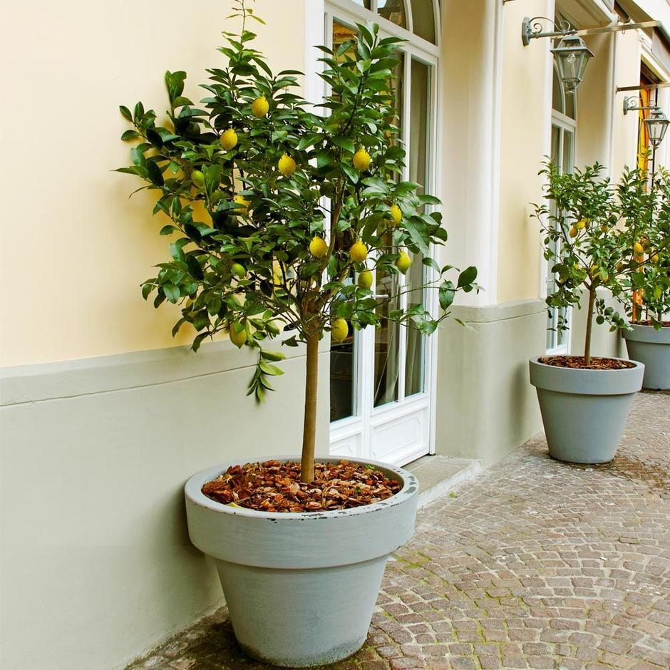 """<p><strong>Meyer</strong></p><p>brighterblooms.com</p><p><strong>$69.99</strong></p><p><a href=""""https://www.brighterblooms.com/products/improved-meyer-lemon-tree?variant=13669416534077&gclid=CjwKCAjwo4mIBhBsEiwAKgzXOIlyTkFh5JZZz5fHBpCt8y9huZNyQ_fUnFk2urb_IZ5cUjKgijX-LBoCXB4QAvD_BwE"""" rel=""""nofollow noopener"""" target=""""_blank"""" data-ylk=""""slk:Shop Now"""" class=""""link rapid-noclick-resp"""">Shop Now</a></p><p>Yep, you <em>can </em>grow a whole-ass lemon tree in your balcony! It's possible!! As long as there's accessible light and it's spacious enough to fit this big stunner, you can be blessed with fruits right outside your humble abode.</p>"""
