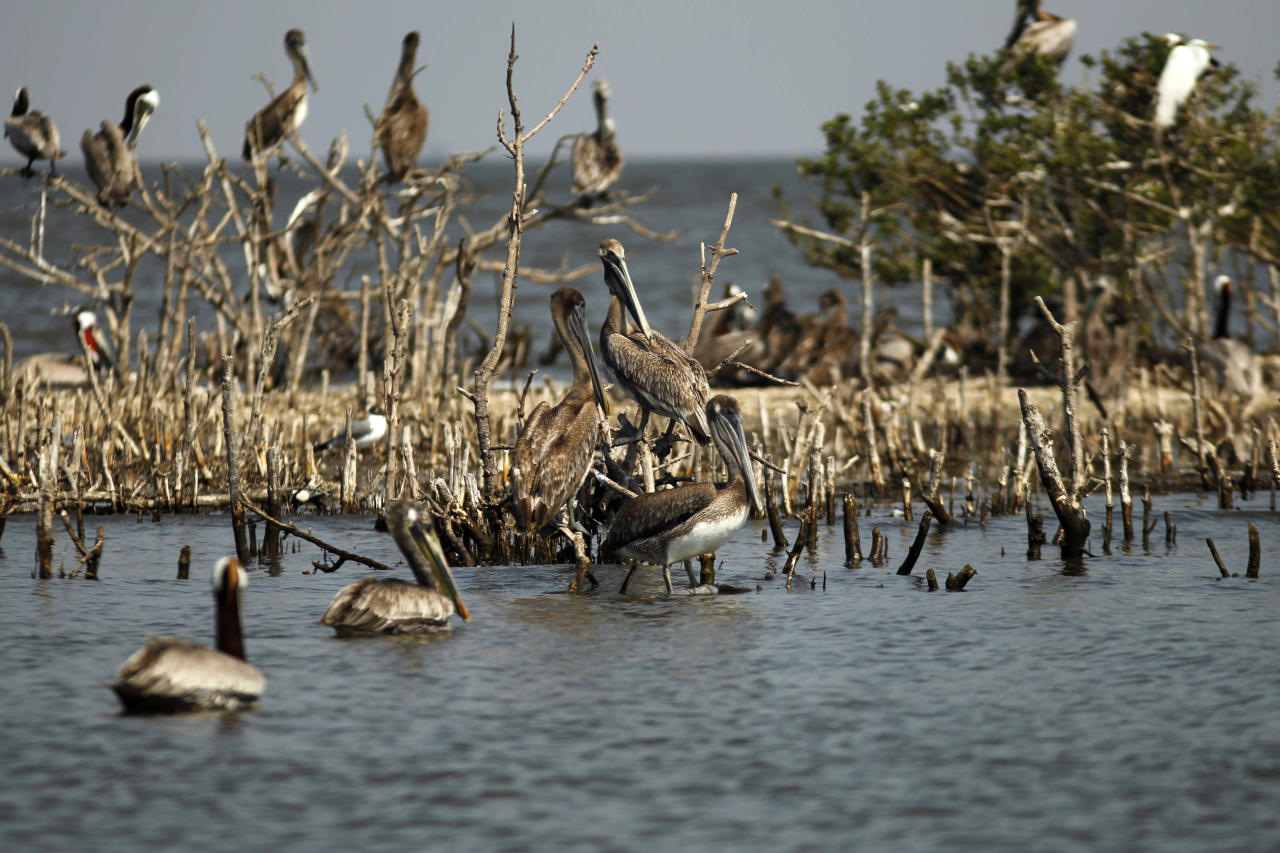 Pelicans are seen amongst dead mangrove on Cat Island in Barataria Bay in Plaquemines Parish, La., Wednesday, April 11, 2012. (AP Photo/Gerald Herbert)