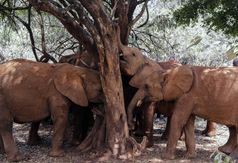 Baby elephants rub their trunks against a tree at the David Sheldrick Wildlife Trust Elephant Orphanage in Nairobi, Kenya Wednesday, Aug. 28, 2019. Countries that are part of an international agreement on trade in endangered species agreed Tuesday to limit the sale of wild elephants, delighting conservationists but dismaying some of the African countries involved. (AP Photo/Khalil Senosi)