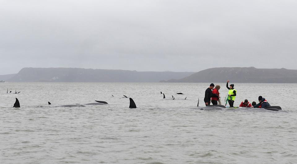 Rescuers work to save a pod of whales stranded on a sandbar in Macquarie Harbour on the rugged west coast of Tasmania on September 22, 2020. (Photo by BRODIE WEEDING/POOL/AFP via Getty Images)