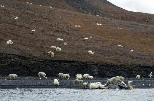 <p>Polar bears crowd on Russian island in sign of Arctic change</p>
