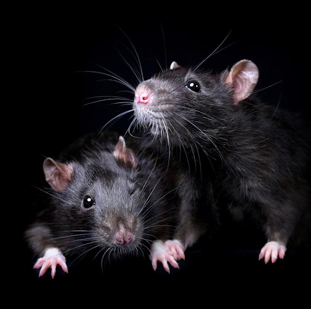 """<p>""""I would love people to consider adopting rats — and any other animal — from animal shelters, or at least responsible breeders if they can't find rescue ones."""" (Diane Ozdamar/Caters News) </p>"""