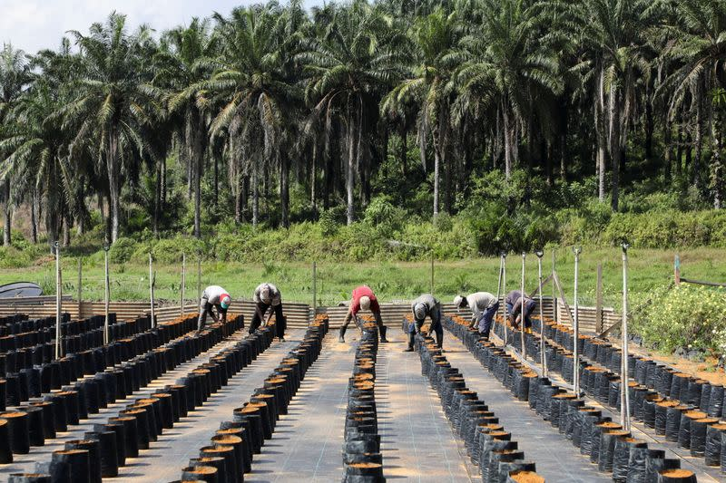 Workers plant oil palm seeds at a plantation in Slim River