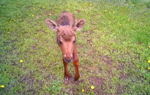 The baby moose was originally separated from its mother last Thursday. (Submitted by Margaret Williston - image credit)