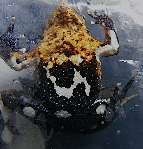 Darwin's frogs may be in trouble in Chile.