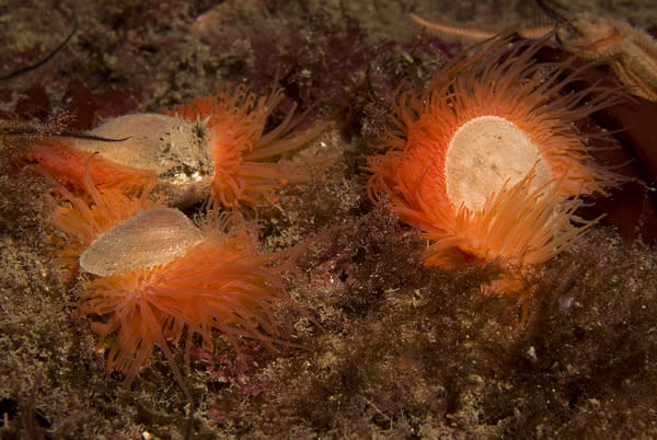 A trio of flame shells. The shellfish are around 1.5 inches (4 centimeters) in length.