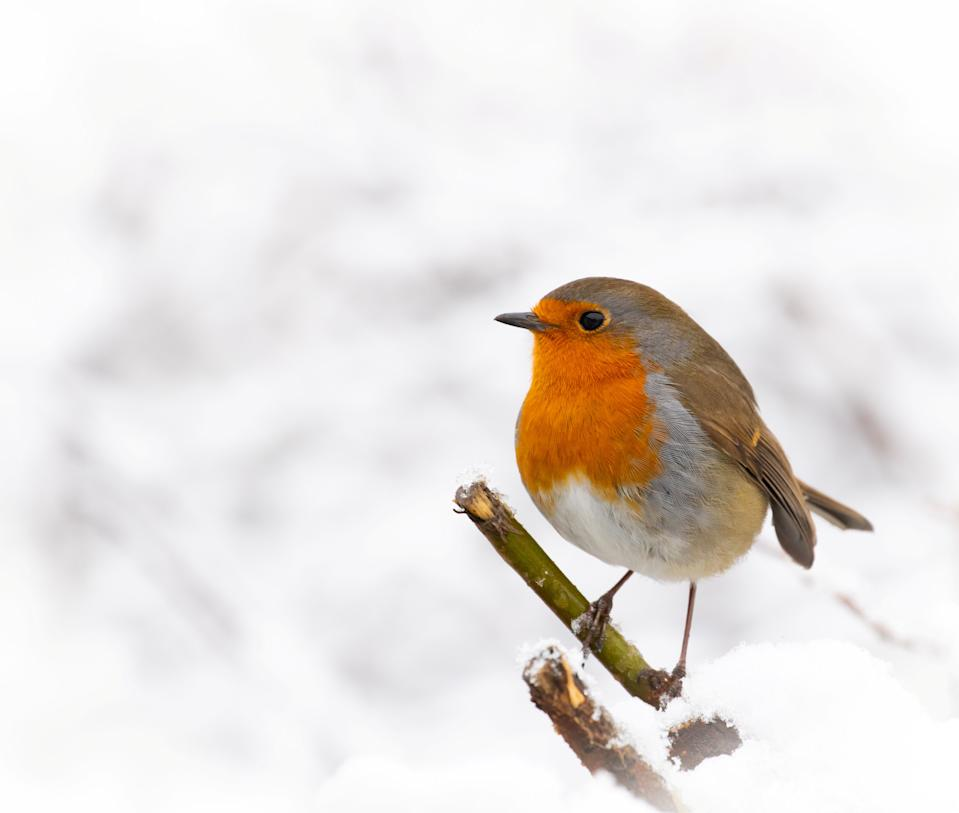 A robin in the snow in the garden of wildlife photographer Kate MacRae in Lichfield, Staffordshire. (SWNS)