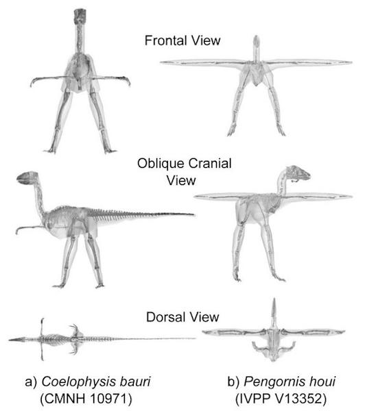 Scientists looked at the bird family by analyzing 3D computer models of 17 archosaurs spanning about 250 million years of evolution. Here, the digitized fossil skeletons and CT scan data from a basal dinosaur (a) and a basal bird (b) in differe