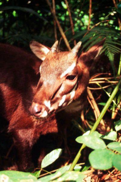 "<p><strong>Scientific classification:</strong> <em>Pseudoryx nghetinhensis</em></p><p><strong>Location:</strong> Vietnam, Laos</p><p>In 1992, the saola, an unusual cattle relative, was discovered in Vietnam. Given its mysterious origins, the saola's unofficial name, <a href=""https://www.worldwildlife.org/species/saola"" rel=""nofollow noopener"" target=""_blank"" data-ylk=""slk:&quot;Asian unicorn,&quot;"" class=""link rapid-noclick-resp"">""Asian unicorn,""</a> is fairly apt. Not much about their population is known, but it was quickly realized they were in danger. Despite being related to livestock animals, the saola deals with captivity poorly, surviving for a scant few months.<br></p><p>The saola tends to avoid humans, but humans are creeping on its strip of habitat through the Annamite Range of mountains. It's a solitary creature for the most part, meaning that if it gets cut off from its range, an individual may not have the chance to breed with other saolas. While humans gather more information about the saola, we may be reckoning with watching a species disappear before we even had the chance to understand it.</p>"